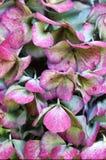 De Hydrangea hortensia Hortensia van de herfst Stock Foto