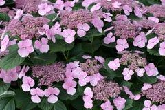 De hydrangea hortensia van Bigleaf Royalty-vrije Stock Foto's