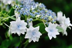 De Hydrangea hortensia van de vallend ster Stock Foto's