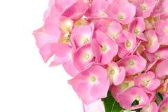 De Hydrangea hortensia van Lacecap Royalty-vrije Stock Fotografie