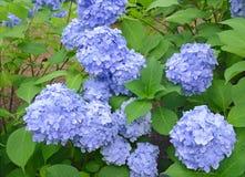 De hydrangea hortensiabloemen, kunnen kleuren volgens de zuurheid van de grond veranderen waarin zij groeien stock foto's