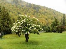 De hydrangea hortensiaherfst New Hampshire Stock Fotografie