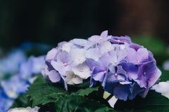 De Hydrangea hortensiamacrophylla van de hydrangea hortensiabloem in een tuin stock foto