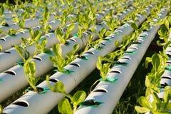 De hydrocultuur Organische hydroponic groente in cultuurlandbouwbedrijf Royalty-vrije Stock Foto