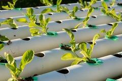 De hydrocultuur Organische hydroponic groente in cultuurlandbouwbedrijf Stock Afbeeldingen