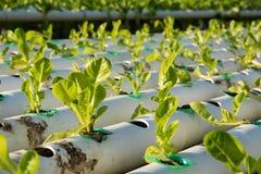 De hydrocultuur Organische hydroponic groente in cultuurlandbouwbedrijf Stock Fotografie