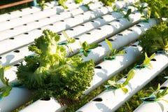 De hydrocultuur Organische hydroponic groente in cultuurlandbouwbedrijf Royalty-vrije Stock Fotografie