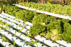 De hydrocultuur Organische hydroponic groente in cultuurlandbouwbedrijf Royalty-vrije Stock Afbeelding