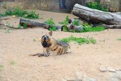 De hyena die op de grond liggen, snuift de lucht op zoek naar prooi royalty-vrije stock afbeeldingen
