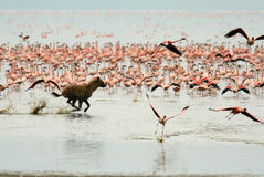 De hyena jaagt voor flamingo's Stock Afbeeldingen
