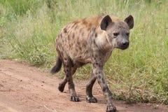 De hyena neemt een gang royalty-vrije stock afbeeldingen