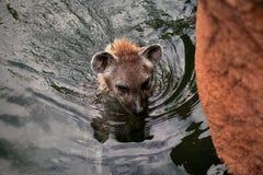 De hyena zwemt in het meer Royalty-vrije Stock Foto