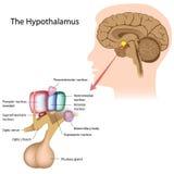 De hypothalamus Stock Afbeeldingen