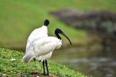 De Ibis met zwarte kop heeft een lange, bochtige zwarte bek zonder veren stock foto