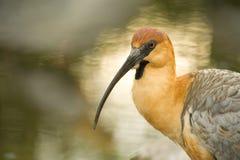De ibis, sluit omhoog ontsproten. Royalty-vrije Stock Fotografie