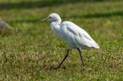 De ibis van de aigrettebubulcus van het vee stock afbeelding
