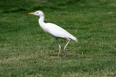 De ibis van Bubulcus Stock Afbeeldingen