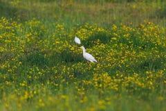 De ibis van Bubulcus van de veeaigrette in groen gras royalty-vrije stock fotografie