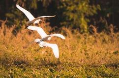 De ibis van Bubulcus van de veeaigrette het vliegen stock fotografie