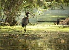 De Ibis van Donau Dellta Royalty-vrije Stock Foto's