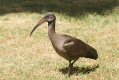 De Ibis van Hadada (Bostrychia Hagedash) Stock Afbeeldingen