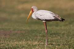 De ibis van Mycteria Royalty-vrije Stock Afbeelding