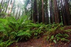 De iconic ormbunkarna och de högväxta kaliforniska redwoodträdträden i Beechfore Royaltyfria Bilder