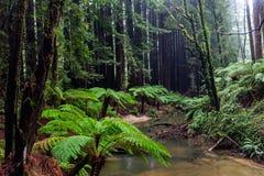 De iconic ormbunkarna och de högväxta kaliforniska redwoodträdträden i Beechfore Fotografering för Bildbyråer