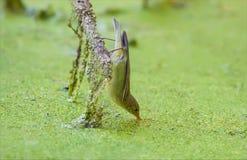 De Icterinegrasmus drinkt water terwijl het hangen van bovenkant - neer royalty-vrije stock afbeelding