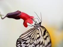 De idee leuconoe vlinder zit op de bloem Royalty-vrije Stock Afbeelding