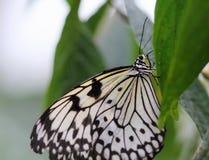 De idee leuconoe vlinder zit op de bloem Royalty-vrije Stock Fotografie