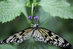 De idee leuconoe vlinder zit op de bloem royalty-vrije stock afbeeldingen