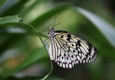 De idee leuconoe vlinder zit op de bloem stock foto's