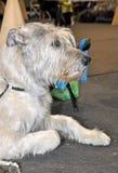 De Ierse hond van de Wolfshond Royalty-vrije Stock Afbeelding