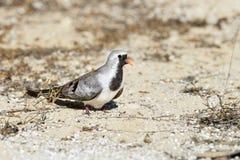 De ifaty duif van Namaqua, Royalty-vrije Stock Foto's