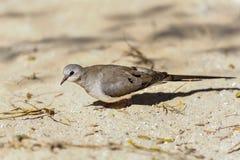 De ifaty duif van Namaqua, Stock Afbeeldingen