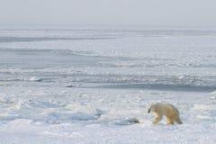 De ijsbeer beklimt uit ijs Royalty-vrije Stock Foto's