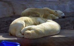 De ijsbeer is een roofdierzoogdier, de oor-poot de Noordpool polaire rode het boekdierentuin van het gebied Royalty-vrije Stock Fotografie
