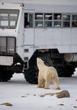 De ijsbeer kwam zeer dicht aan een speciale auto voor de Noordpoolsafari canada Churchill Nationaal Park royalty-vrije stock afbeeldingen