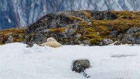De ijsbeer ligt in de sneeuw op de steenachtige heuvel stock foto's