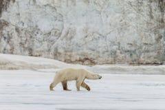 De ijsbeer loopt langs de ijskap stock fotografie