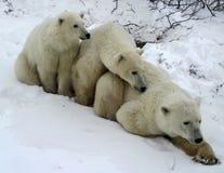 De ijsbeer van de moeder en twee welpen Royalty-vrije Stock Foto