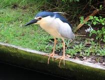 De Ijsvogel van Bali Stock Fotografie