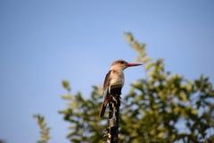 De Ijsvogel van Brownhooded Royalty-vrije Stock Foto