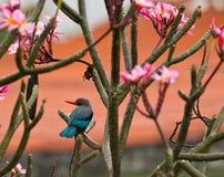 De Ijsvogel van de mangrove stock afbeeldingen