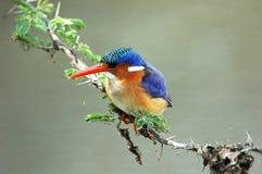 De Ijsvogel van het malachiet Royalty-vrije Stock Foto