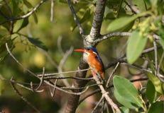 De Ijsvogel van het malachiet Royalty-vrije Stock Foto's