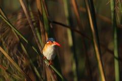 De Ijsvogel van het malachiet Royalty-vrije Stock Fotografie