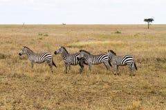 De ijver verblindt binnen van zebras in Serengeti, Tanzania stock foto