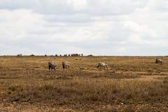 De ijver of verblindt binnen van zebras in Serengeti, Tanzania stock fotografie